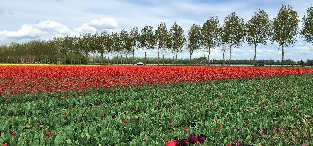 Zur Tulpenblüte nach Holland: Das Tulpenfestival in Flevoland