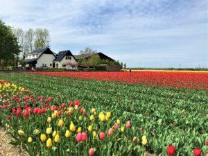 Zur Tulpenblüte nach Holland Aufmacher 2 bearbeitet klein