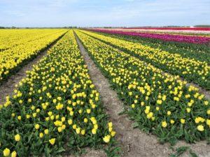 Zur Tulpenblüte nach Holland Bild 13 bearbeitet klein