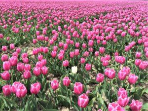 Zur Tulpenblüte nach Holland Bild 3 bearbeitet klein