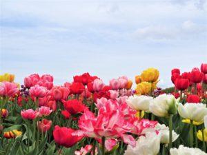 Zur Tulpenblüte nach Holland Bild 5 bearbeitet klein