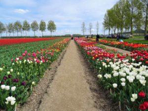 Zur Tulpenblüte nach Holland Bild 8 bearbeitet klein