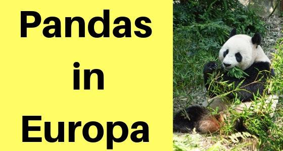 Pandas in Europa: Diese Zoos halten den Großen Panda