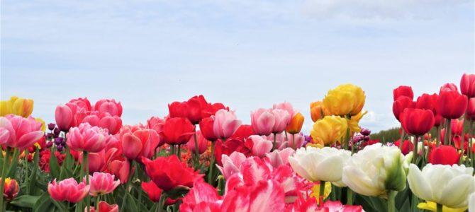 Tulpenblüte in Zeiten von Corona: Wichtige Infos für Flevoland und Co.