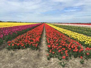 Tulpenblüte in Zeiten von Corona Bild 5 bearbeitet klein