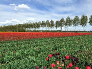 Tulpenblüte in Zeiten von Corona Bild 6 bearbeitet klein